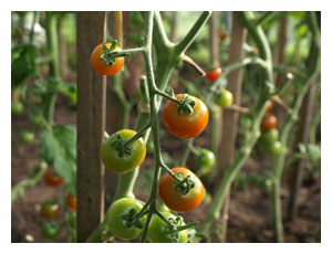 Огородные хроники июля